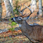 Seeing 13 Bucks in 1-1/2 Hours Can Convince a Deer Hunter to Hunt Illinois