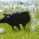 Why Bowhunt Feral Hogs