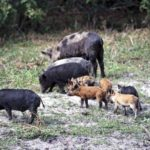What Tips You Need to Know to Successfully Bowhunt Feral Hogs