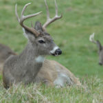 What Further Research Explained about the Effects of Hunting Pressure on Green Field Deer