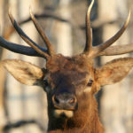 Wayne Carlton Tells More about Butt Head – the Ultra Realistic Cow Elk Decoy That Works