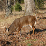 How to Use Attractants on Food Trails to Take Deer