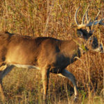 How to Stay Concealed with Attractants on Deer Trails