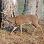 How to Hunt Escape Trails for Deer with an Attractant