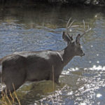 How to Hunt Deer in a Creek Bottom or a Wash through Thick Cover with a Deer Attractant