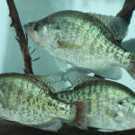 How to Deal with Warm Fronts, Cold Fronts and Muddy Water When Winter Crappie Fishing