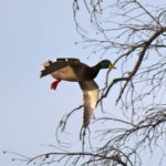 Decoys for Louisiana Ducks and Geese and Calling the Shot