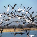 Tough Snow Geese with Bill Daniels