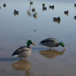 Louisiana's Waterfowl Season Means Numbers of Ducks and Specklebelly Geese