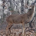 How to Use Your Human Odor to Force Deer to Move