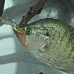 Fish for February's Sunshine Crappie