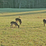 What Rules Help You Have Mature Buck Deer on Small Parcels of Land