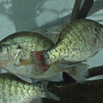 Know Why Crappie Suspend with Jonathan Phillips