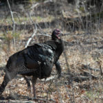 How to Find Late-Season Public Land Gobblers with Matt Morrett