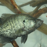 Finding Crappie at Discharges from Industrial Plants and in Small Streams