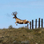 The Status of Mule Deer Herds – Then and Now