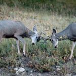 Abandoned Fencing Is Detrimental to Mule Deer and Other Wildlife