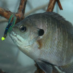 Where to Find and How to Take Big Bream
