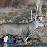 Public, Private and State Groups Work Together to Improve Mule Deer Herds and Hunting