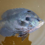 Smell Watermelons and Cotton Pick Bluegills to Catch More