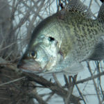 Why Not to Overlook Alabama's Lake Eufaula Crappie