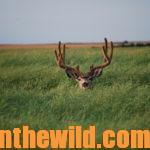 Why to Think Like a Predator to Spot and Stalk Canadian Mule Deer