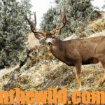 What about Taking Guns to Canada to Hunt Mule Deer