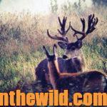 Why Nonresidents Must Have Guides to Hunt Mule Deer in Alberta, Canada