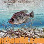 Catching Crappie in October and November Day 3: Using Fall Crappie Tactics