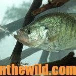 Catching Crappie in October and November Day 2: Fishing Big Baits for Warm Weather Crappie
