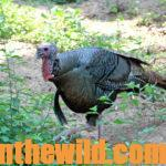 How to Take Early Season Turkeys Day 1: Search for Turkeys on Rainy Days