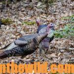 How to Take Early Season Turkeys Day 2:  Meet with Area Deer Hunters