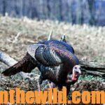 How to Take Early Season Turkeys Day 4: Know what to Do About a Hushed Mouth Gobbler