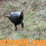 What to Do for A Successful Turkey Hunt Day 4: How to Get Ready to Shoot When a Turkey's Closing Ground