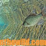 How to Find and Catch Prespawn Crappie Day 1: Fishing Grass Lakes for Crappie in the Prespawn with Guide Mike Carter