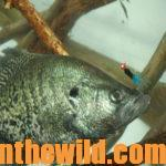 Where to find Crappie When They're Not on the Banks Day 2: How to Catch Crappie on Underwater Road Beds