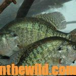 Where to find Crappie When They're Not on the Banks Day 1: Where's the Most Consistent and Successful Crappie Fishing