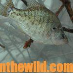 Prepare Now to Catch Big April Crappie Day 1: Understand How Crappie Act in April