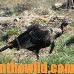 How to Locate and Take Tough Turkeys Day 1: How to Hunt a Circling Turkey