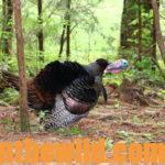 How Alex Rutledge Finds and Takes Turkeys Day 4: How to Hunt Turkeys on Rough Terrain