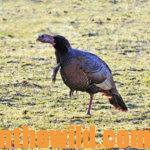How to Locate and Take Tough Turkeys Day 3: How to Hunt and Take Public Land Turkeys
