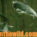 Everything You've Wanted to Know about Catching Catfish Day 1: What You Can Learn about Catfish and Why Noodle for Them