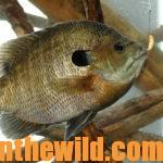 Have Fun and Catch Big Bream Day 4: How to Catch Boat Ramp Bluegills and Build Bream Attractors
