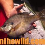 Have Fun and Catch Big Bream Day 5: Why Use High Tech Methods Like GPS and Depth Finders to Identify Bluegill Beds