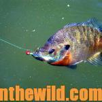 Have Fun and Catch Big Bream Day 3: How to Catch Boathouse Bluegills