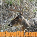 Getting Ready for Bowhunting Deer Season Day 5: Remembering to Continue Scouting for Deer During Bow Season