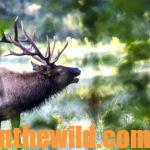 Hunting Elk with Crow Creek Outfitters Day 3: Shannon Parsons on Elk Hunting