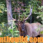Hunting Elk with Crow Creek Outfitters Day 5: Most-Common Mistakes Made by Unsuccessful Elk Hunters