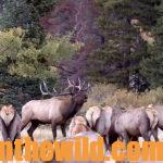 Mia Anstine – Adventures of an Unlikely Elk Guide Day 5: When Mia Anstine Took a Huge Birthday Bull Elk