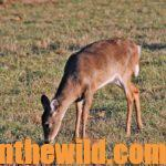Hunting the Deer Rut Day 3: Realize Does Can Direct You to a Buck Deer